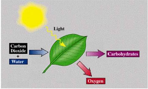 Gbp qld grazing bestprac graziers pasture management a simple diagram showing photosynthesis ccuart Image collections